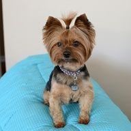 yorkie's haircut