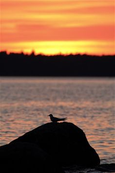 Bird. Kayak trip in Espoo, Finland     Kalatiira - sterna hirundo