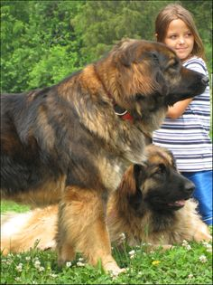 "The-Giant-Leonberger-Dog-""The-New-Lion""-19 5 Hottest Facts About Giant Leonberger Dog ""The New Lion"""