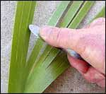 scraping a flax leaf