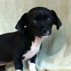 Merry is a teeny-weeny-tiny-winy #Chihuahua #puppy who loves snuggling and loves meeting new friends. She's up for adoption at Helen Woodward Animal Center.