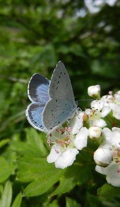 Chalkhill Butterfly (Polymmatus coridon) Europe