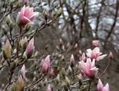 The 'Ann' Magnolia making its spring debut! Landscape Design, Garden Design, Spring Blooms, Magnolia, Ann, Gardening, Plants, How To Make, Landscape Designs
