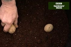 Save space by growing potatoes in a container or dustbin, with the help of Monty Don's practical video guide. Short clip from Gardeners' World TV programme.