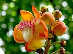 Курупита гвианская - Couroupita guianensis. Обсуждение на LiveInternet - Российский Сервис Онлайн-Дневников