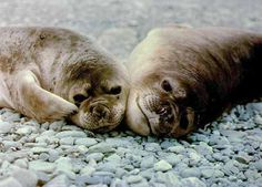 A vida das focas Quando elas estão em terra firm Elas se locomovem devagar, arrastando a sua barriga pelo chão. É assim as nadadeiras das focas vão ficando achatadas e não funcionam bem como patas de animais