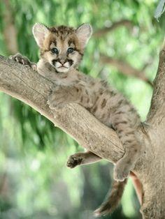 Cougar Cub Sitting i beautiful amazing