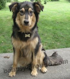 English Shepherd photo