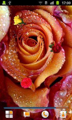 Yellow pink roses ❤ hd desktop wallpaper for ultra hd tv Live Moving Wallpaper, Moving Wallpapers, Live Wallpapers, Rose Images, Flower Images, Pink Blossom Tree, Beautiful Flowers Images, Ipad 1, Rose Wallpaper