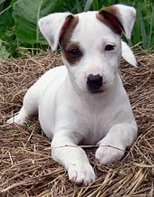 Jack Russell Terrier - Wikipedia, the free encyclopedia