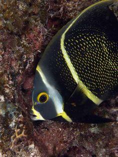 ^French angelfish (Pomocanthus paru)