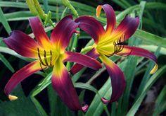 Midnight in Oz - (Herrington-K., 2009) height 26in (66cm), bloom 6.5in (16.5cm), season M, Rebloom, Dormant, Diploid, 18 buds, 5 branches, Spider Ratio 4.44:1,  Burgundy red self above yellow throat. (unknown × unknown)