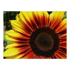 Vivid Sunflower Closeup Poster - A closeup of a bright yellow sunflower with its petals shading to red at the roots and a dark center. Bright, vivid sunflower photography.
