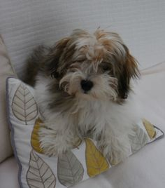 Discover The Funny Havanese Puppy Temperament Havanese Puppies, Cute Puppies, Dogs And Puppies, Yorkies, Baby Dogs, Pet Dogs, Pets, Cutest Dog Ever, Beautiful Dogs