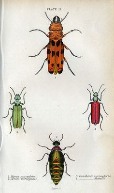 Jardine's Beetles, Plate 19 by dd21207