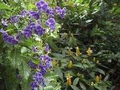 Butterfly flower purple duranta in garden designed by Brent Knoll of Knoll Landscape Design