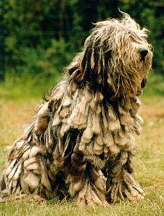 Dogs >> Bergamasco - Free Training Course on Bergamascos