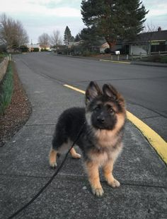 The best part of any morning is a brisk walk with your best friend! Share if you agree! #DogAccesories #germanshepherd