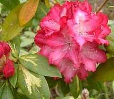 'President Roosevelt' is a hybrid rhododendron with predominantly red flowers turning to white at the center. It flowers early midseason. Read more about habit and hardiness on ARS.