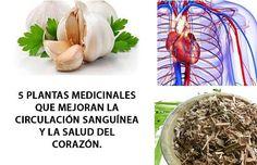 Las siguientes plantas medicinales son recomendadas para mejorar la circulación sanguínea y con ello prevenir problemas del corazón. ¡No te las pierdas!