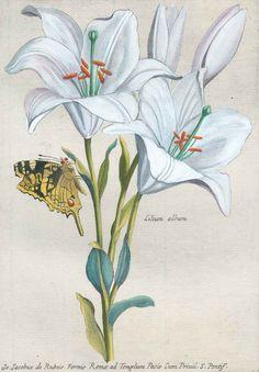 Robert,N. | Variae et multiflores Florum species expressae ad vivum. Rom, J.J. de Rubeis 1665.