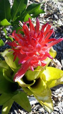 Bromeliad Flower in Bloom at the Byron Bay Public School Gate.  What a wonderful start the day!  Photo:  Marty Ware from Happy House & Garden Website