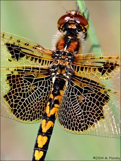 dragonfly ~ perfection of subltle tones & intricated designs!!!