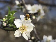 California Drought Forcing Honeybees Out of State