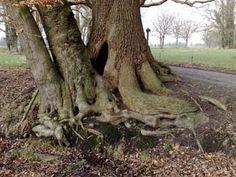 Een enorme eik en twee andere bomen markeren de doorgang in de landweer bij Graes in Twickel, tussen Delden en Borne.