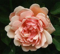ALBERTINE   (Wichuraiana. Barbier 1900).  En förstklassig klättrare med tätt växtsätt. Dekorativt, koppartonat bladverk och skålformade, fyllda, kopparrosa blommor. Tedoft med inslag av frukt.