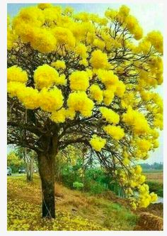 Tabebuia google search new trees up for discussion pinterest might be yellow tabebuia grows in florida tabebuia chrysotricha or golden trumpet tree mightylinksfo