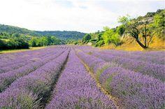 Google Image Result for http://www.alexandre3.com/uploads/media/grasse/fleurs-lavande-grasse.jpg