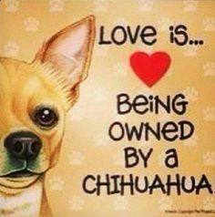 Chihuahua Dogs Chihuahuas: Love is. Being Owned By a Chihuahua. Types Of Chihuahua, Chihuahua Quotes, Teacup Chihuahua, Chihuahua Puppies, Chihuahuas, Chihuahua Tattoo, Chihuahua Terrier, Dog Quotes, Jack Russell Terrier