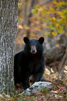 About another month and we will see Yogi! ☀Autumn Black Bear by Nick Kalathas on 500px*
