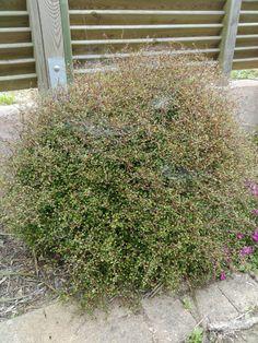 Muehlenbeckia astonii Native Gardens, Native Plants, Garden Ideas, Landscaping, Outdoor Structures, Gardening, House, Home, Lawn And Garden