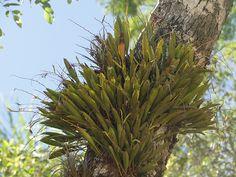 "Acianthera glumacea ""'ìn situ`'"