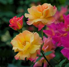 Climbing Rose Quot Joseph Coat Quot This Rose Change Colors As