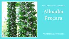 Alluadia Procera - Fichas de Plantas Suculentas Cactus Y Suculentas, Compost, Succulents, Cacti, Plants, Indoor Gardening, Garden, World, Rare Succulents