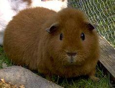 Meerschweinchen Rasse :  US - Teddy