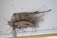 Mourning dove nest built on an upended hoe. Photo by Connie Cushing of Walnut Creek