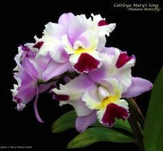 Cattleya Mary's Song 'Madame Butterfly'