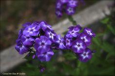 Laura Phlox paniculata