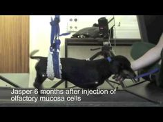 Watch This Paralyzed Dog Walk Again After A Cell Transplant