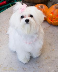 Beauty in the Fall with this 9 month Maltese