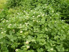 White Clover Is A Great Consideration For Deer, Turkey Habitat Plots on http://www.deeranddeerhunting.com