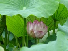 "Oizumi green space of lotus (Jul 3 日 年 2014) -ch302326 | photo sharing - goo blog ""Photo Channel"""