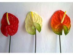 Anturios ( tropical flower )