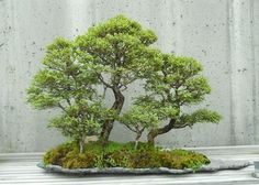 The Formal and Informal Upright Styles in Bonsai