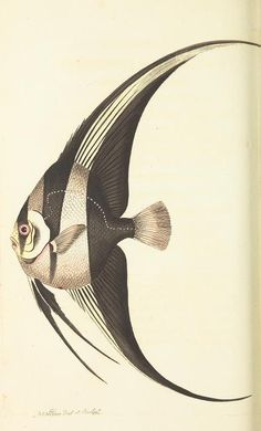 angel fish v.19 - The naturalist's miscellany, or Coloured figures of natural objects - Biodiversity Heritage Library
