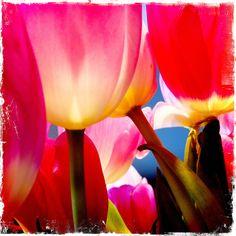 Tulpen, 2012